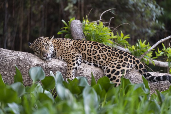 siesta on a very warm day in Pantanal thumbnail