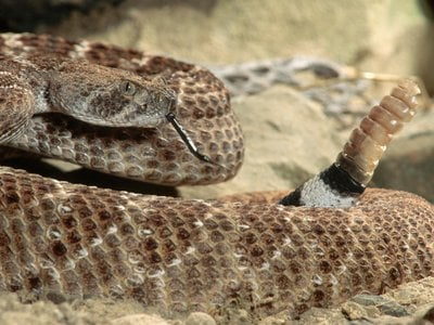 A new study of western diamondback rattlesnakes reveals that they abruptly shift to a high-frequency rattle as danger approaches.