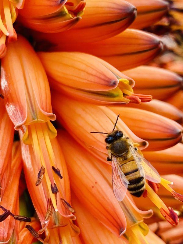 Orange Flower Bee thumbnail