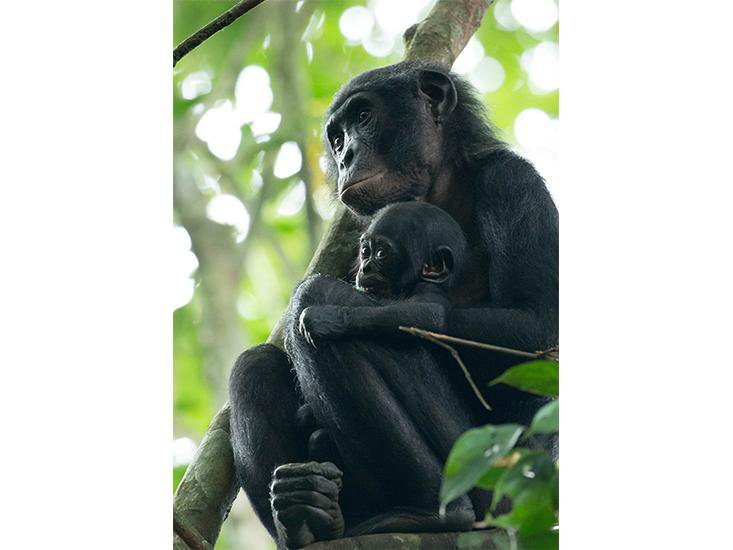 The Surprising Way Civil War Took Its Toll on Congo's Great Apes