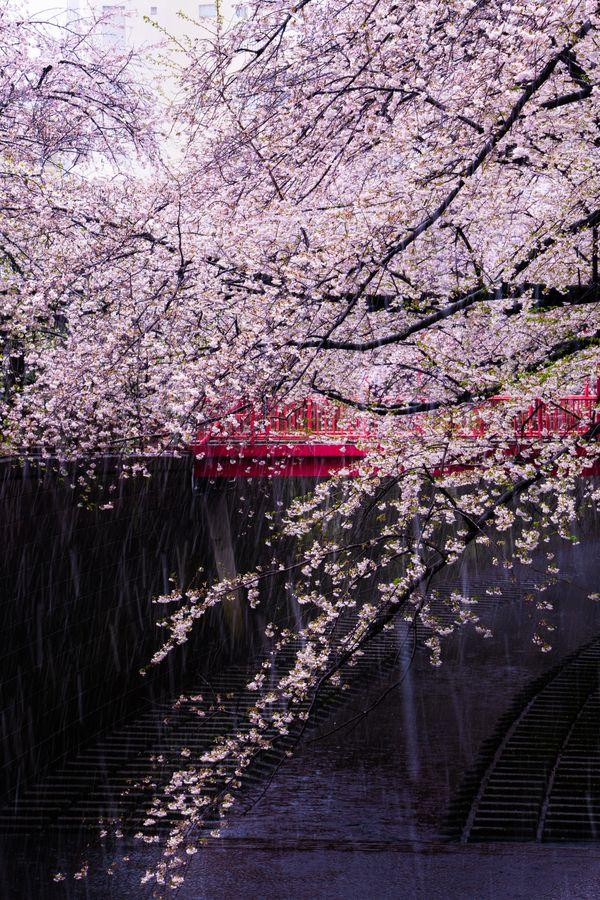 Cherry blossoms fall thumbnail