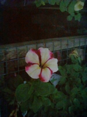 Red striped flower thumbnail