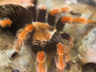 Mexican Fireleg Tarantula