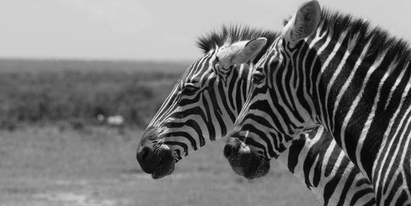 Twice Zebras thumbnail