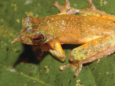 """Another newly described species, """"Litoria vivissimia,"""" has a similarly pointed nose"""