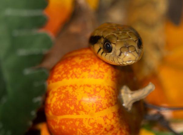 Fruit of the Snake thumbnail