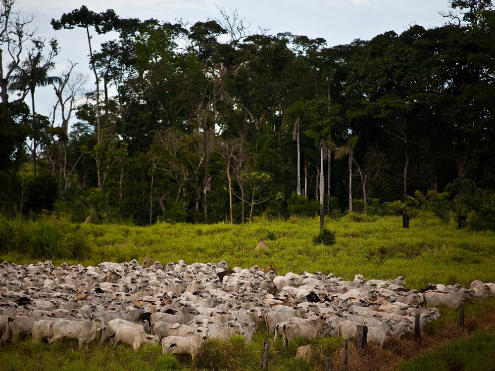 Illegal occupation of Brazilian Amazon Government land with livestock