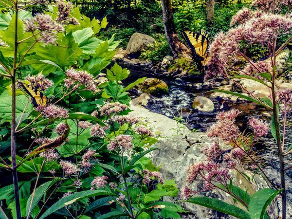 Butterflies at George Washington National Park Crabtree Falls VA thumbnail