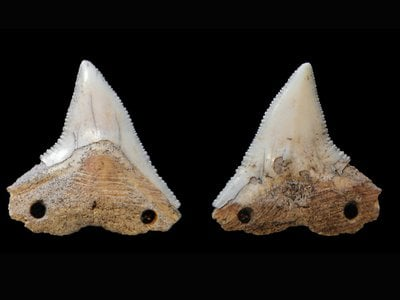 Both sides of a shark tooth from Rio do Meio, an artifact which may have been used as a cutting tool. Archaeologists think it was bound to a wooden shaft by cord, strung through the drilled holes.
