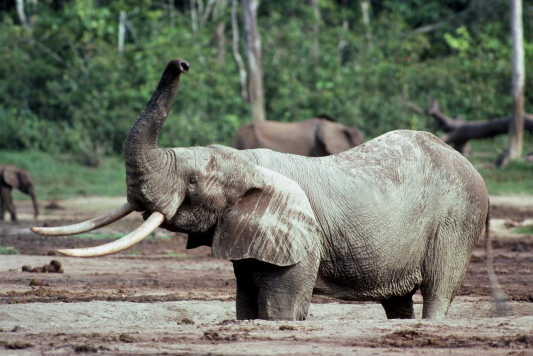 Ivory From 16th-Century Shipwreck Yields Clues to African Elephants' Decline
