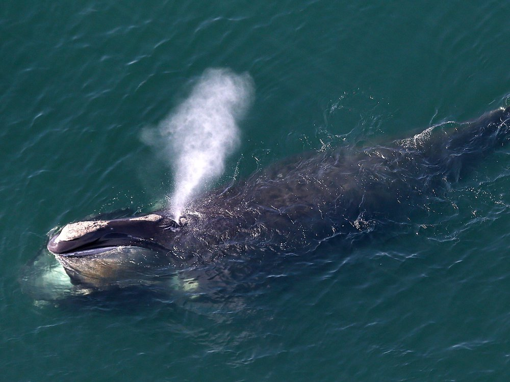A North Atlantic right whale off the coast of Massachusetts, blowing water through its blowhole