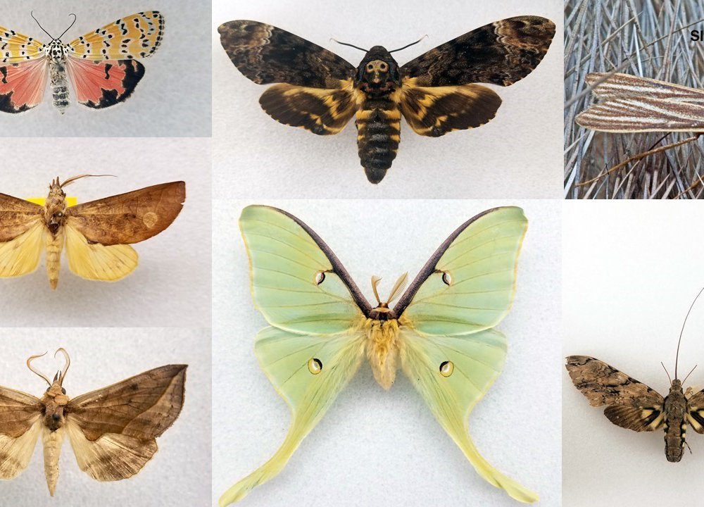 There are about 160,000 species of moths and butterflies worldwide, each with unique characteristics. (Smithsonian)