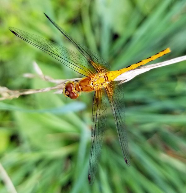 Cherry-Faced Meadowhawk perched on a grass panicle thumbnail