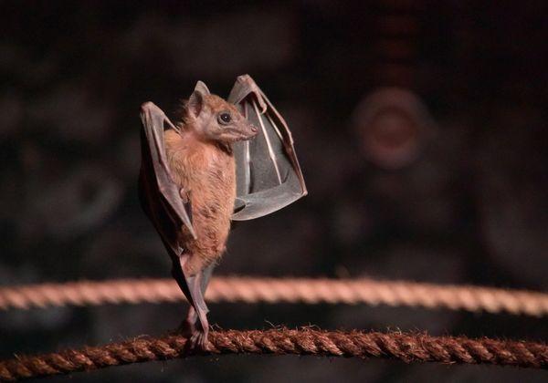 Bat Ballet thumbnail