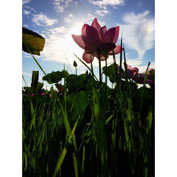 Lotus flower in cambodia  thumbnail