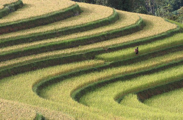 Rice terraces close to harvest season. thumbnail