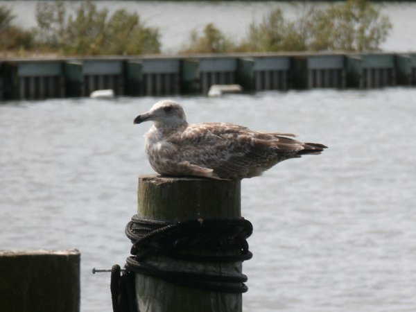Seagull resting on a post thumbnail