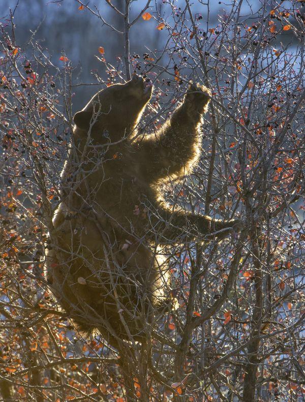 Bear Feasting on Hawthorn Berries - Backlit thumbnail