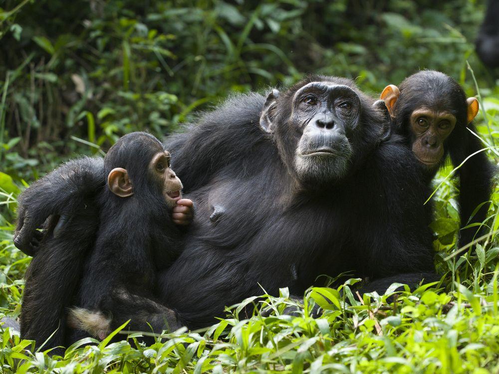 Chimp mom and babies