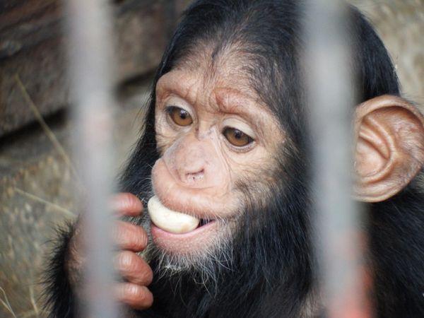 Newborn Chimpanzee at Refuge thumbnail