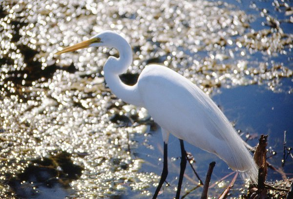 White Heron thumbnail