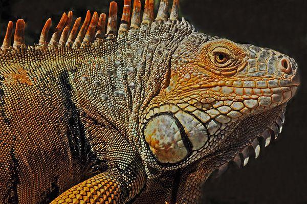 Iguana  thumbnail