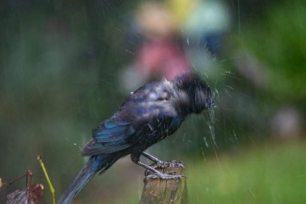 Wet Grackle thumbnail