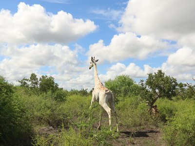 The giraffe's white color comes from a genetic condition called leucism.