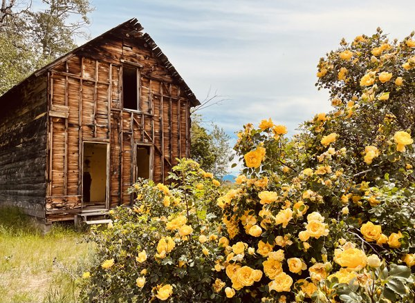 Homestead with wild roses thumbnail