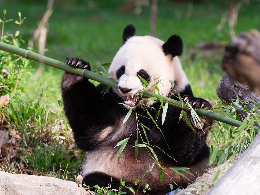 Mei Xiang enjoys bamboo