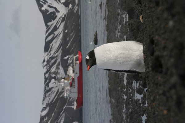 Gentoo & the HMS Endurance.  Photographed using a Canon EOS20D with a Canon EFS 17x55mm lens. thumbnail