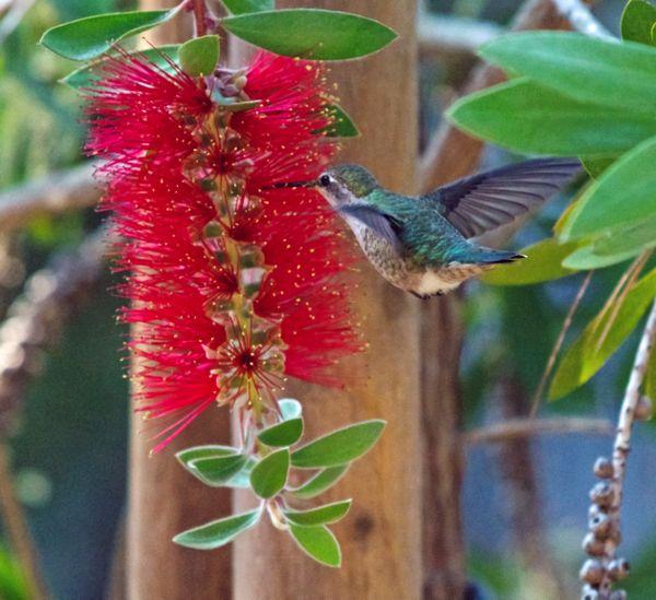 Humming bird thumbnail