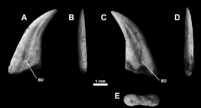20110520083245Buitreraptor-tooth.jpg