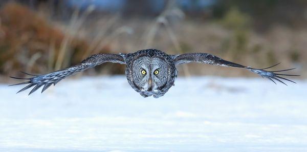 A Great Grey Owl thumbnail