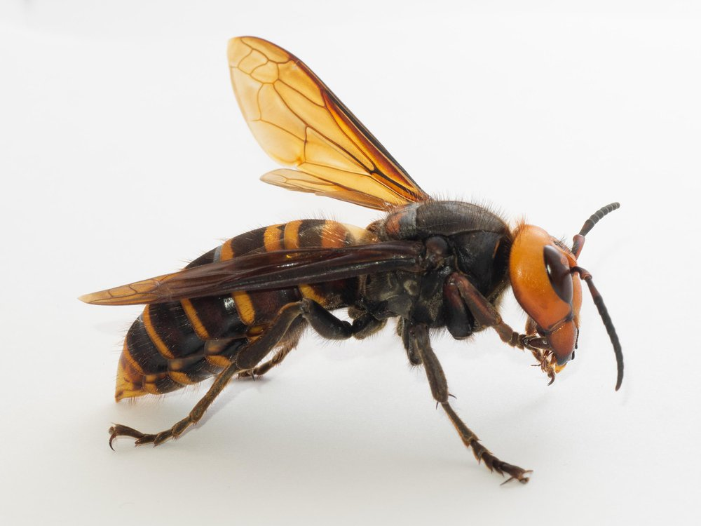 A close up image of a queen Asian giant hornet. The hornet has black and orange stripes and is facing towards the right against a white background.