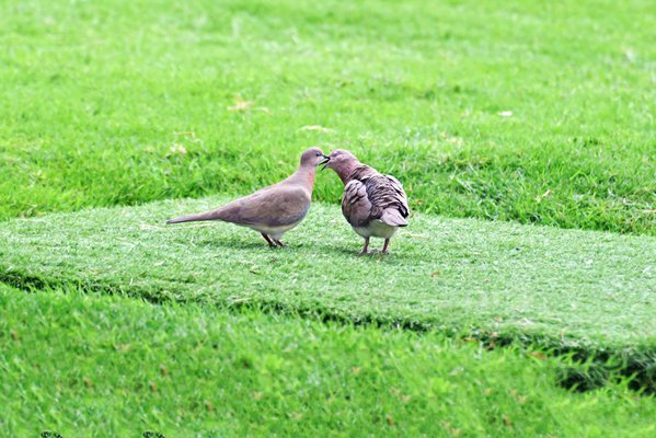 A pair of Laughing Doves pecking and preening each other as part of their courtship ritual before mating. thumbnail