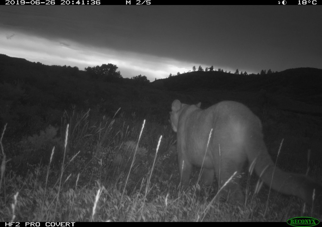 A mountain lion spotted near a stream that flows to the Missouri River