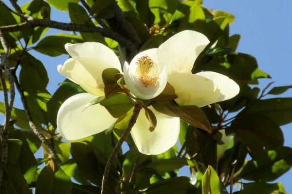 Magnolia thumbnail