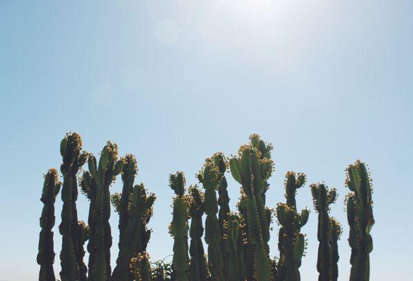 California Cacti thumbnail