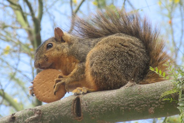 Squirrel with Cookie thumbnail