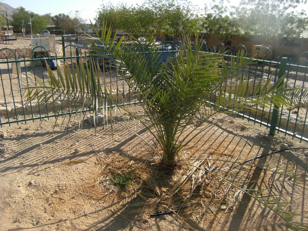 Methuselah Date Palm