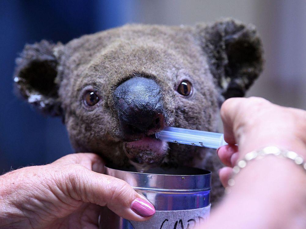 Koala receives treatment for dehydration