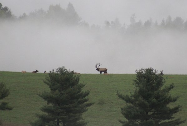 Elk rut in the fog thumbnail