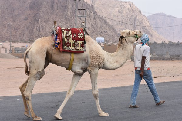 This man-made his living by leasing a camel. thumbnail