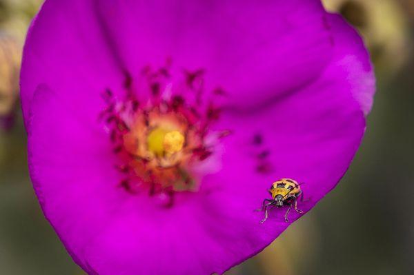 Lady Bug on Calandrinia Flower thumbnail
