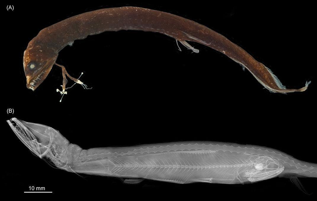 This Hinged Skull Helps Dragonfish Eat Prey Bigger Than Its Head