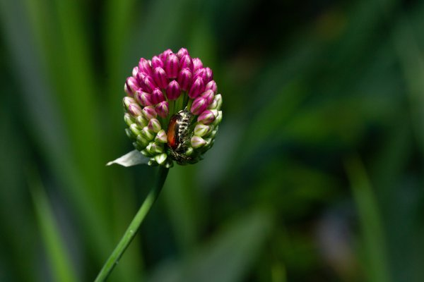 Japanese beetle in allium blossom thumbnail