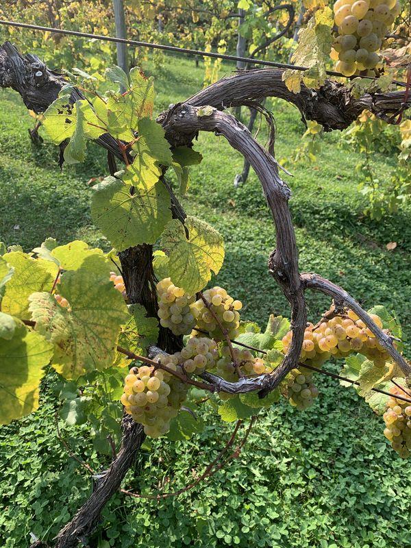 The Grape Vine thumbnail
