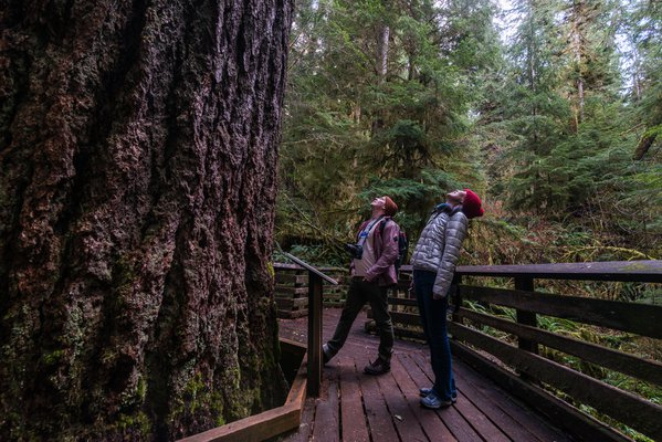 The Giant of Quinault Rainforest thumbnail