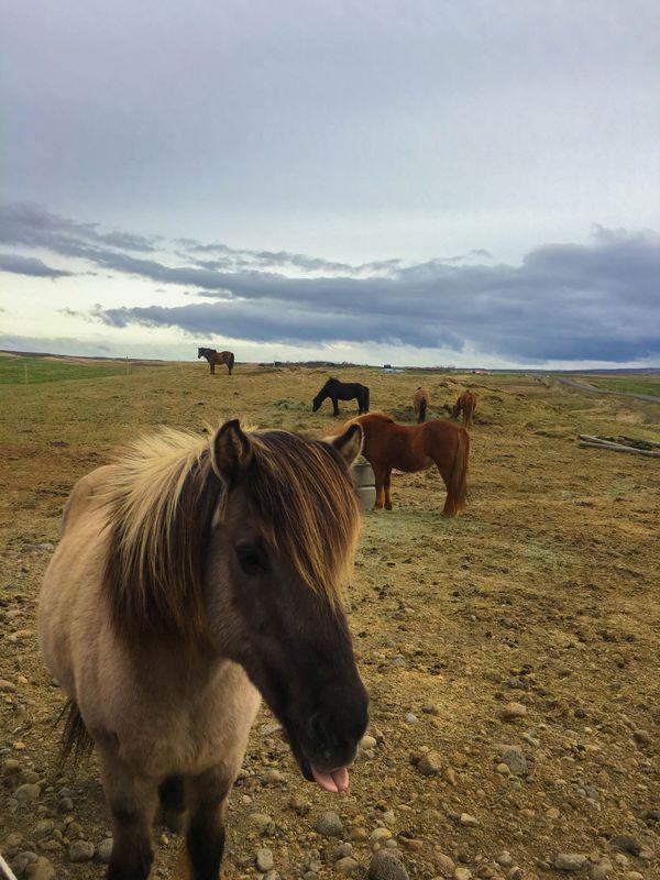 Icelandic horse thumbnail